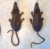 Huge Funky Black RAT EARRINGS - Big Gothic Halloween Mouse Rodent Animal Witch Plague Charm Novelty Costume Jewelry - Large Realistic Toy Mice Rats. Giant Rubbery Plastic Critter Charms, 2.25-inch (5.63cm) long, without tail. Where are you BEN?