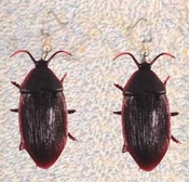 Gross COCKROACH EARRINGS - Halloween Roach - Gothic Insect Charm Bug Jewelry - Realistic, HUGE COCKROACH.